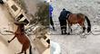 Serenos de Cieneguilla persiguen y atrapan a caballo que corría sin rumbo por las calles