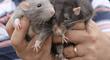 ¿Qué significa soñar con ratas?: conoce la reveladora interpretación detrás de este inquietante sueño