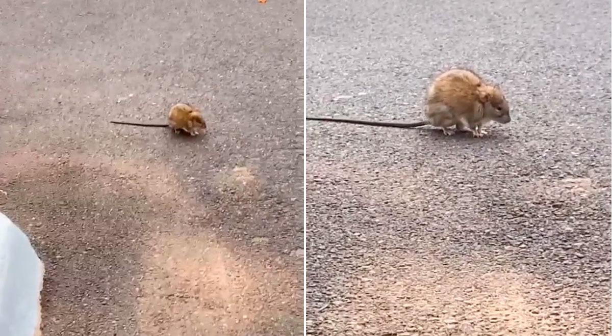 mujer-confunde-una-rata-con-una-ardilla-y-su-divertida-reaccion-al-darse-cuenta-se-hace-viral-video