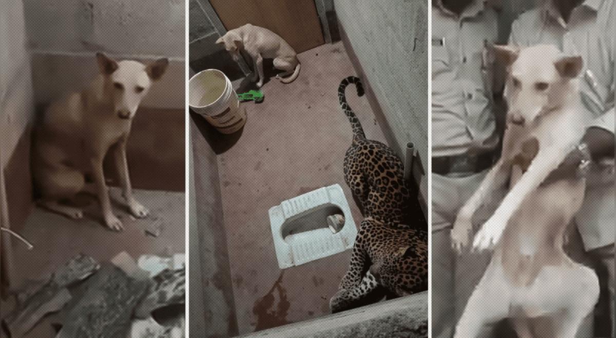 se-salvo-de-milagro-perro-sobrevive-al-quedar-atrapado-en-un-bano-por-siete-horas-con-un-leopardo-video