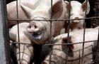 """""""No es un virus nuevo"""": China afirma que la gripe porcina G4 es común y poco contagiosa"""