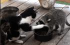 Gato se incomoda con mapache por robarse su comida y ambos protagonizan cómica escena [VIDEO]