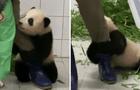 Oso panda no quiere separarse de su cuidador y se aferra a su pierna para que no se vaya [VIDEO]