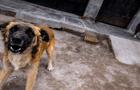 Arequipa: anuncian alerta epidemiológica ante incremento de casos de rabia canina