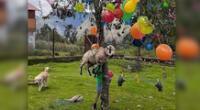 Cuelgan a un carnero como premio de yunza en el Cusco