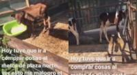 Cuarentena: Denuncian que animales de granja de Plaza Norte están en abandono