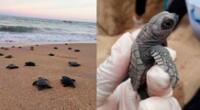 El 22 de marzo estas tortuguitas marinas rompieron el cascaron y ahora lograron llegar al mar.