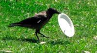 Los cuervos entrenados se encargarán de recoger colillas de cigarro.