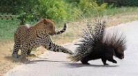 El puercoespín y el leopardo se han vuelto tendencia.