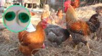 Estas gallinas en la India dan huevos con yema color verde.