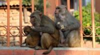 Los monos atacaron a un galeno del Colegio Médico Meerut de Delhi, India.