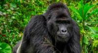 A la fecha solo quedan un millar de ejemplares de gorilas lomo plateado en el mundo.