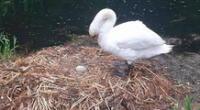 El cisne hembra se quedó al final con un solo huevo.