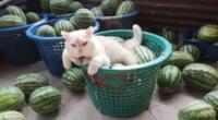 El gatito se ha ganado el respeto de todos los trabajadores del pueblo ubicado en Tailandia.