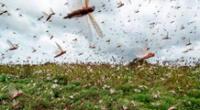 Plaga de langostas enciende la alerta en cuatro países de Latinoamérica