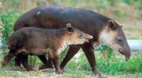 Tapir andino.