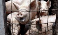 """Por su parte, la OMS indicó que la gripe porcina G4 no es nueva y se """"encuentra bajo vigilancia""""."""