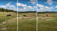 Imágenes impactantes de la mujer fingiendo su muerte para no ser atacada de bisontes.