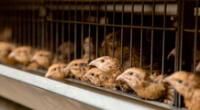 La gripe aviar H7N7 fue detectada en una granja de Australia.