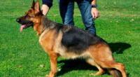Perro de raza Pastor Alemán.