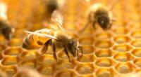 La melitina y el veneno de abeja se estudiaron por sus propiedades anticancerígenas.