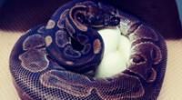 Serpiente hembra pitón abrazando sus huevos.