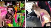 Una usuaria de Facebook reportó a su chihuahua perdida, podría tratarse de la perrita que encontró la Policía norteamericana.
