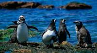 Hallan a un pingüino muerto luego de haber ingerido una mascarilla