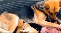 Perrita adopta a dos cachorros de león que su madre rechazó