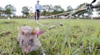 Magawa, la rata que detecta bombas y artefactos explosivos.