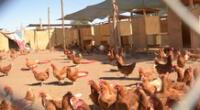 Adquirieron 500 gallinas ponedoras de la línea Hy Line Brown.