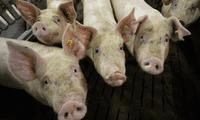 El último brote de peste porcina africana ocurrió el pasado 25 de julio.