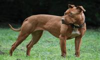 Los dueños del perro Pitbull no se han responsabilizado por los daños causados en la Schnauzer.