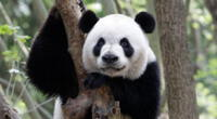 ¿Logras ver el oso panda oculto?