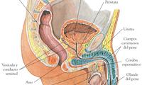 El sistema de conductos, que está formado por el epidídimo y el conducto deferente.