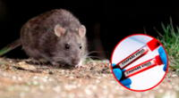 La enfermedad es potencialmente mortal, con síntomas similares al ébola, se propaga por roedores y es transmisible de persona a persona.