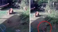 Valiente mujer salva a su perro de ser estrangulado por una pitón