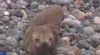Lobo marino es hallado varado en San Miguel