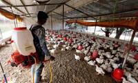 Según los últimos datos de las autoridades indias 21.555 aves han sido sacrificadas en Kerala.