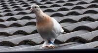 La historia poco peculiar de la paloma Joe captó la atención de la prensa internacional.