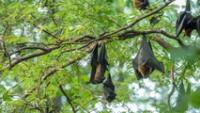 De acuerdo con la investigación, los murciélagos tenían anticuerpos capaces de atacar el SARS-CoV-2.