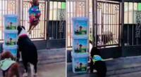 En el video musicalizado con la música de la película Misión Imposible se ve a un grupo de cachorros en la puerta, aparentemente, de una tienda china de mascotas.