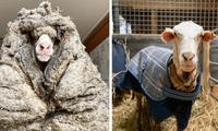 Oveja se encontraba al borde de la muerte por abundante lana