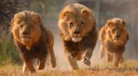 Los leones fueron sacrificados por la administración del parque.