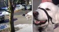 El perrito pudo salvar a su dueña cuando se desmayó en plena calle.