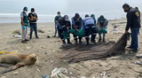Serfor y PNP ponen a buen reaudo a lobo marino varado en Ventanilla.