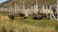 El ñandú es una de las especies más importantes de la estepa patagónica pues son como una especie de repartidores de semillas.