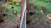 Perrito intenta ahuyentar a un gato de su patio, pero termina fracasando.