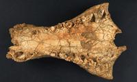 fósil del cocodrilo hallado en Australia