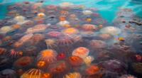 Proliferación de medusas en el Callao